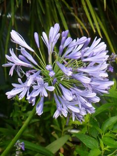 Improved Peter Pan Lily of the Nile, Agapanthus- It's a dwarf version getting to I planted 4 plants in my day lily flower bed Growing Flowers, Love Flowers, Planting Flowers, Agapanthus Africanus, African Lily, Texas Plants, Hummingbird Plants, Patterns In Nature, Nature Pattern