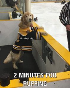 Tagged with funny, hockey, golden retriever; Looks like he dogged the shot Funny Animal Memes, Dog Memes, Cute Funny Animals, Funny Animal Pictures, Cute Baby Animals, Funny Cute, Funny Dogs, Funny Memes, Funny Videos