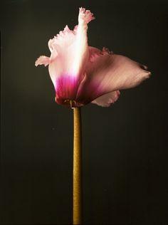 #cyclamen #macys #flowershow