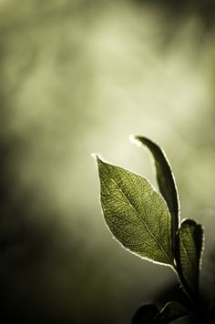 Leaf (by aravis121)