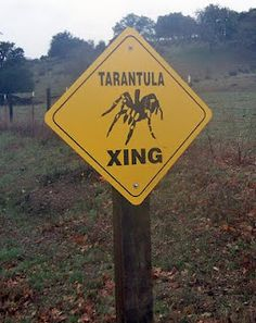 Tarantula Xing? Yes, I've seen these in some parts of Texas,