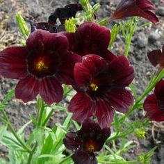"Salpiglossis – Chilean Black, annual.H 12-24"" Chilean Black is a mixture of burgundy (shown) and dark purple flowers with dark veins. Blooms all summer and fall."