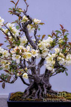 Japanese Flowering Bonsai  www.juliepalencia.com