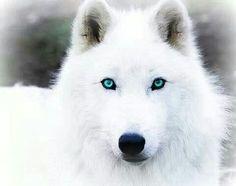 Lobo blanco de ojos azules