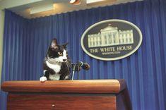 #adorable #clinton family #feline #kitty #pet #podium #press room #socks the cat #white house