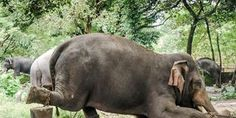 Send the tortured 57 elephants of Guruvayur Temple to WildlifeSOS and close training camps!