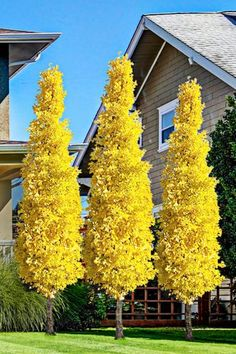 Always wanted a GInkgo tree but didn't have the space? The Sky Tower Ginkgo is a very compact and upright variety that grows only 15 to 20 feet tall and. Trees And Shrubs, Trees To Plant, Maidenhair Tree, Large Plants, Small Trees, Colorful Trees, Garden Trees, Tower Garden, Front Yard Landscaping