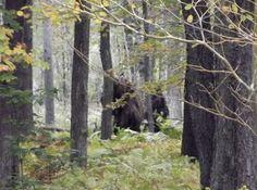 Woodsman photographs 'evidence' of Bigfoot 10/3/2013 photo by John Stoneman