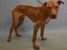CASANOVA – A1077322 MALE, TAN, PIT BULL MIX, 3 yrs STRAY – STRAY WAIT, NO HOLD Reason STRAY Intake condition EXAM REQ Intake Date 06/13/2016, From NY 10460, DueOut Date 06/16/2016,