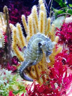O my, someone should have warned me how addictive seahorses are! Sea Dragon, Water Life, Marine Life, Octopus, Underwater, Coral, Creatures, Seahorses, Dragons