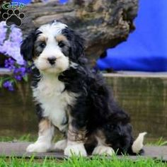Mini Bernedoodle Puppy in Narvon, PA Bernese Mountain, Mountain Dogs, Bernedoodle Puppy, Greenfield Puppies, Puppies For Sale, Poodle, Animals And Pets, Pets, Bernese Mountain Dogs