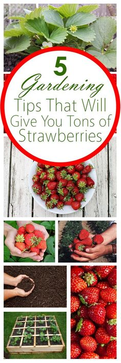 awesome 5 Gardening Tips That Will Give You Tons of Strawberries!