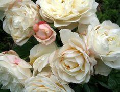 English roses - I love roses!