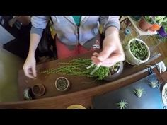 How to propagate the String of Pearls plant ( Senecio rowleyanus ) - YouTube