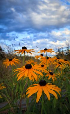 What's Special About a Black Eyed Susan? - I have always been attracted to Black Eyed Susans, even though they are quite common, because they are such bright colourful  flowers.