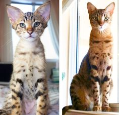 This adorable Savannah kitten at 11 weeks old and 11 months old. Before and after photo of a Savannah Kitten grown up! He is so adorable and so sweet! Savannah Cat Breeders, Savannah Kittens For Sale, Savannah Chat, Serval Kittens For Sale, Kitten For Sale, Las Vegas, Cats, Sweet, Animals