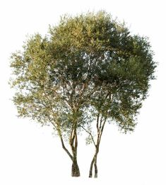 3477 x 3848 pixels PNG. Wild relative of the common olive tree. Photoshop Images, Photoshop Elements, Landscape Elements, Landscape Design, Tree Plan Png, Tree Render, Tree Psd, Tree Cut Out, Wild Olive
