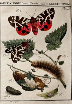 Insects of the Netherlands, illustrated from Life.  ; By Sepp, Jan Christiaan, 1739-1811 on Flickr.