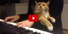Kitty demands attention while his human is playing piano.