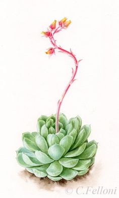 Succulents Drawing, Cactus Drawing, Cactus Art, Watercolor Flowers, Watercolor Paintings, Watercolor Illustration, Watercolour, Botanical Prints, Botanical Drawings