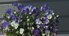 Britakakku, britatorttu, marjamarenkitorttu Plants, Plant, Planets