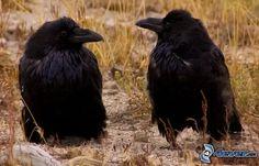 PRANOSTIKA NA STREDU 22.3.: Keď vrany rozhrabávajú hnoj, bude daždivá jar