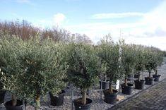 Héél veel olijfbomen in alle soorten en maten! Voor elke tuin een geschikte olijfboom Bonsai, Florida, The Florida, String Garden