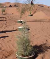 Trees now growing in the Groasis Waterboxx. Sahara desert, Morocco.  Trees grown here with the Waterboxx had over an 88% survival rate, compared to around 10% survival without the Waterboxx but when watered weekly.  The Waterboxx was invented to replant deserts - these trees are developing deep roots that will reach groundwater - allowing them to survive long periods without rain. #droughttolerant
