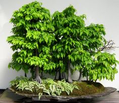 bonsai trees images pictures   Plants – Bonsai Trees   Minding My P's With Q