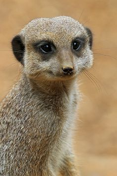Happiness is .... being a meerkat!!!!