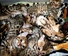Mokave Kittens. kittens that grow into tame bobcat like cats :)