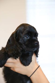 Kingdom Cockers ~ American Cocker Spaniel ~ Classic Cocker Look & Trim Black Cocker Spaniel, American Cocker Spaniel, Cocker Spaniel Puppies, Cocker Bebe, Cute Puppies, Dogs And Puppies, Spaniel Breeds, Cockerspaniel, Dog Rules
