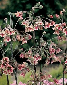 Unusual plants for New Vintage gardens Nectaroscordum siculum. Full sun and average watering. Full sun and average watering. Garden Types, Diy Garden, Shade Garden, Dream Garden, Garden Plants, Garden Landscaping, Bulbous Plants, Vintage Gardening, Unusual Plants
