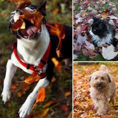 The grin on your puppy's face when they see the leaves falling around them. 24 Things About Fall That Will Put A Smile On Your Face Fall Leaves Pictures, Baby Animals, Cute Animals, Animal Antics, Autumn Leaves, Fallen Leaves, Puppy Face, Autumn Photography, Dog Halloween
