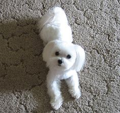Hair Styles Maltese Dogs Forum Spoiled Forums