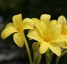 Childanthus fragrans