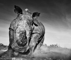 Amazing #rhino photo by @David_Yarrow #HappyAlert via @Ashley Yoon Hippo Billy