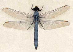 DRAGONFLY - Genus Erythemis - Erythemis collocata - 'Western Pondhawk' male