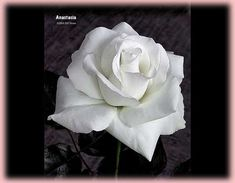 Rosa Hybrid Tea (Anastasia): stunning white blossom takes heat better than most white roses