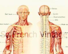1912 Cerveau Nerfs Moelle Epiniere  illustration Planche originale Larousse  decor vintage 105 ANS D'AGE