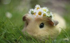 #conejo dé indias, con su mini #corona de #flores #naturales