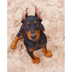 The German Pinscher is among its homeland's oldest breeds. As the progenitor of the Miniature Pinscher and the ever-popular Doberman, among other German breeds, it can be said to be the prototypical pinscher.
