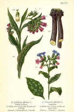 BEINWELL WALLWURZ Botanik Farbdruck Antiker Druck Antique Botanical Print