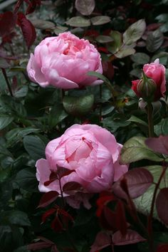 'Brother Cadfael' | David Austin English Rose.  Austin, 1990 | Flickr - © riparianowner