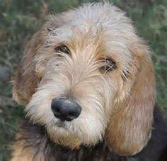 Image result for otterhound