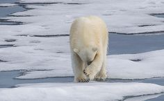 We Could Say Good-Bye to Some Polar Bears as Early as 2025 PETITION PLEASE SIGN ?