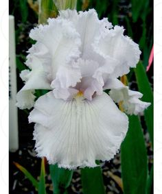 Bearded Iris 'Queen of Angels' Iris Flowers, Types Of Flowers, Spring Flowers, Planting Flowers, Beautiful Flowers, Outdoor Plants, Garden Plants, Japanese Iris, Bulbous Plants