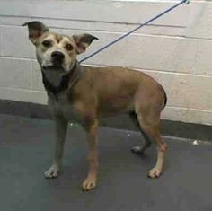 DAISY (A1676106) I am a female tan Terrier. The shelter staff think I am about 1 year old and I weigh 39 pounds. I was found as a stray and I may be available for adoption on 02/03/2015. — hier: Miami Dade County Animal Services. https://www.facebook.com/urgentdogsofmiami/photos/pb.191859757515102.-2207520000.1422738654./918642888170115/?type=3&theater
