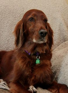 Meet Maddie, a Petfinder adoptable Irish Setter Dog   Wichita, KS   MADDIE is an 8 years old Irish Setter. Her owner could no longer care for her. She is a...