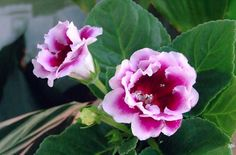How to care, repot, propagate, cultivate, prune, decorate, germinate, feed, water and more information about Sinningia Speciosa (Gloxinia)